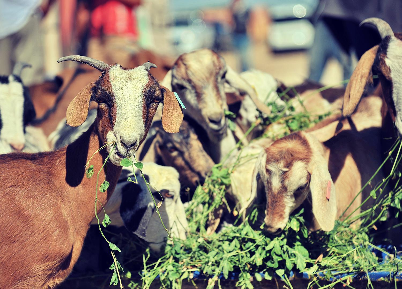 Projet solidaire : les chèvres Draâ